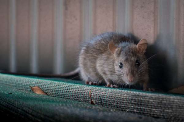 Amid coronavirus chaos, another deadly virus called 'Hantavirus' emerges in China