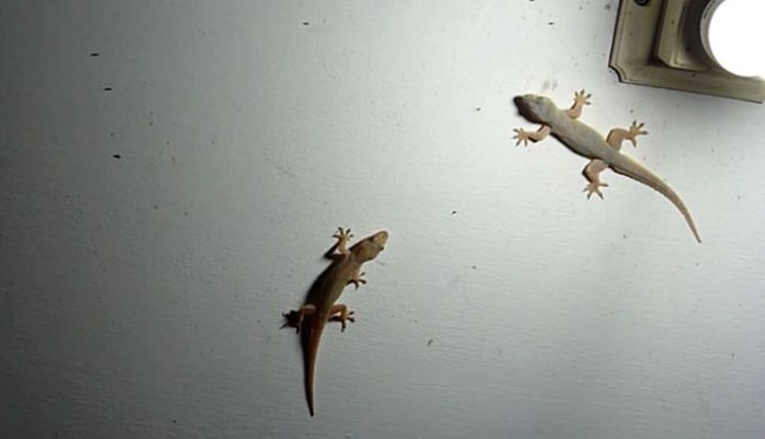 5 Ways To Get Rid Of Lizards From House Lifeberrys English Dailyhunt
