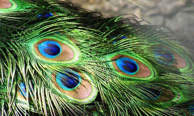 घर में मोर पंख रखने के क्या चमत्कारी फायदे होते हैं,जानिए आप भी ! - Brain  Remind   DailyHunt