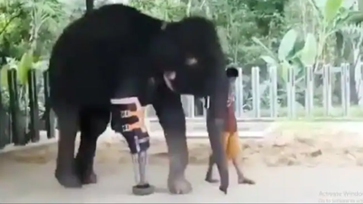 Even After Cutting The Leg The Elephant Did Not Lose Courage Madhur Bhandarkar Shared A Heart Touching Video News Crab Dailyhunt African elephants have larger ears and concave. lose courage madhur bhandarkar shared