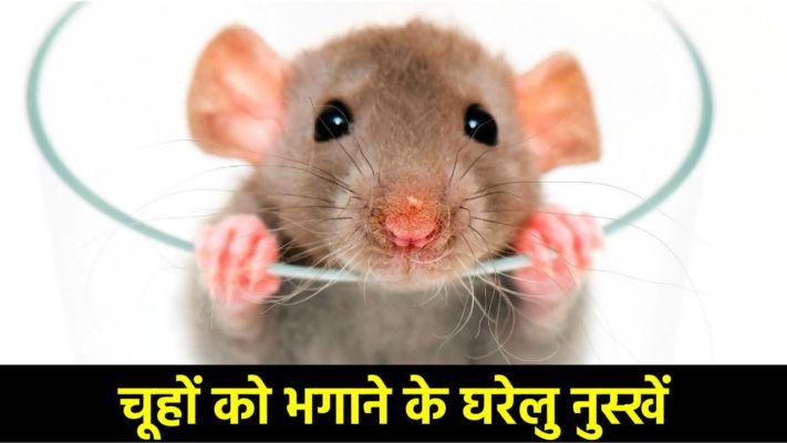 अगर घर में चूहों से हो परेशान तो अपने ये टिप्स, बिना मारे ही घर से हो जायंगे रफू चक्कर..